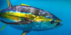 How To Get Started With Salt Water Fishing.) Do you want to have a hobby that you can pass on to your children? Salt Water Fish, Salt And Water, Sport Fishing, Fly Fishing, Sea Angling, Tuna Fishing, Yellowfin Tuna, Vintage Fishing Lures, Offshore Fishing
