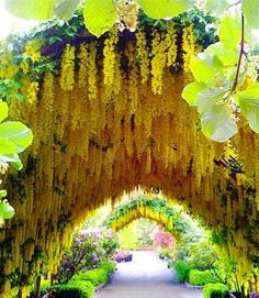 A beautiful garden arch full of flowing yellow flowers, astounding!
