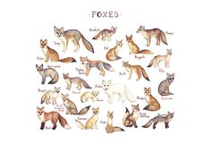 Foxes of the World, Field Guide Style ~ watercolor by Kate Dolamore   . . . .   ღTrish W ~ http://www.pinterest.com/trishw/  . . . .  #fox