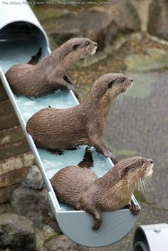 Otters are distracted from their waterslide - October 16, 2013
