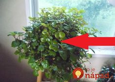 Swedish ivy houseplants are ideal for beginners. Swedish ivy houseplants was especially common in home décor of the and Ivy Plants, Houseplants, Ivy Plant Indoor, Indoor Plant Shelves, Types Of Ivy, House Plant Care, Green Leaves, Orchids, Gardens