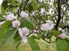 Quince flowers, April. Άνθη κυδωνιάς, Απρίλιος. Το εκχύλισμα βοηθά την ανάπτυξη των βλεφαρίδων.