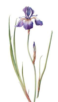 Blue iris I Marianne Grundy-van Es