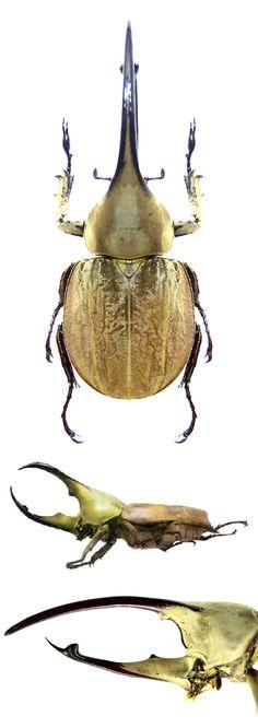 Spodistes beltianus