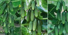 izl Samos, Cactus Plants, Cucumber, Vegetables, Gardening, Balcony, Lawn And Garden, Cacti, Cactus