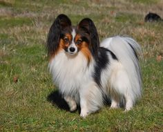 "Papillon Dog Breed ""Cutest & Smartest Gift for Everyone"""