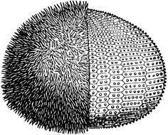 European Edible Sea Urchin