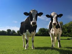 I think Holstein cows are absolutely beautiful. A Holstein herd grazing in a pasture brings a smile to my face. Farm Animals, Cute Animals, Funny Animals, Cows Mooing, Holstein Cows, Happy Cow, Cow Art, Livestock, Cattle