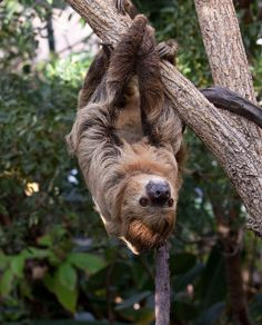A sloth drops-in.