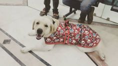 #Delhi #adoption Sona is a 2.5- year-old white Labrador whose present family feel that he will be happier in a home where he will be given the time and attention that he doesn't get from them. They are at work all day and poor Sona sits alone at home all by himself depressed and lonely. He's a lovely natured dog very friendly well behaved and obedient. He's had all his vaccinations and is healthy and fit. He's always had the best vet care nutritious food toys grooming all the material…