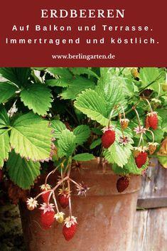 Erdbeeren Auf Balkon Und Terrasse In Topf, Kasten, Kübel, Schale Richtig  Pflanzen Und Pflegen