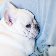 """Do I LOOK like I wanna talk?"", pouty French Bulldog Puppy"