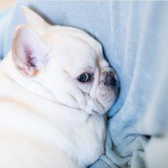 """""""Do I LOOK like I wanna talk?"""", pouty French Bulldog Puppy"""