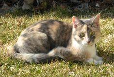 calico cat   Dilute Calico Cat