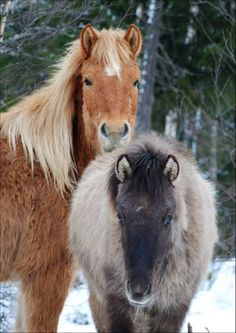 Northlands Horses: Mother and Foal Signe Johanne Rasmussen, Norway Photo Heart, Horse Breeds, Beautiful Horses, Farm Animals, Pony, Creatures, Norway, Nature, Color