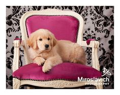 Puppy on pink chair. Miroslavich Photography