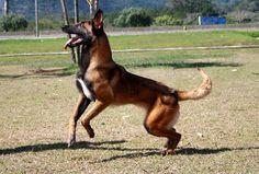 Malinois or Belgian Shepherd Dog   The Pet Net