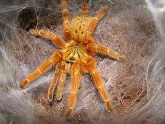 Orange Baboon Tarantula | Pterinochilus murinus (Orange Baboon Tarantula)