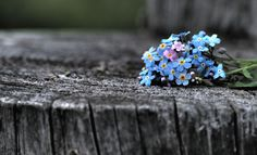 Фото Голубые незабудки на сером пне