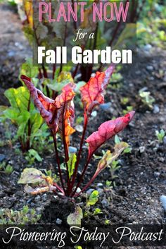 Planting a Fall Garden Now. Learn how to plant now for a fall harvest, seed sowing, how to cool the soil, and tricks for using the frost for your advantage.