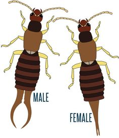 earwigs how to get rid of them