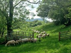 pagewoman: Herdwick Sheep after shearing, Matterdale, Lake District, Cumbria, England (by James Rebanks / The Herdwick Shepherd)