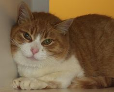 Meet C02-043 (02/28/14) a Petfinder adoptable Domestic Short Hair Cat | Akron, OH | Adopting a friend~Dogs (and puppies) are $ 90.00 : $ 76.00 for the adoption / $ 14.00 for the...