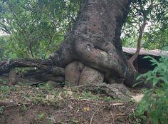 sexual tree