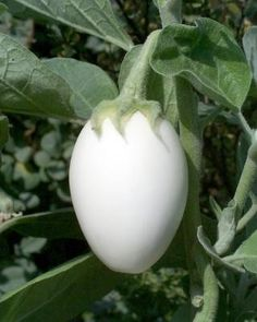 Egg Tree Seeds by MrNature on Etsy - Unique Eggplant ! Weird Plants, Unusual Plants, Exotic Plants, Exotic Flowers, Fruit Plants, Fruit Trees, Trees To Plant, Fruit And Veg, Fruits And Veggies