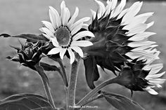 I bet you have had the same reaction to an image at some time or other. I had this sunflower image sitting in a photography folder for some time when I decided to edit it to black and white. I like it enough to add to my growing online portfolio.You can find more of my photography at my growing ClickASnap portfoliowhere I now have an eclectic collection of Digital Single Lens Reflex and iPhone camera photographs.