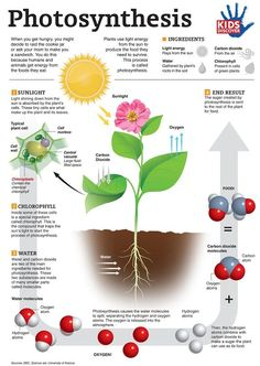 Printable Infographic: Photosynthesis