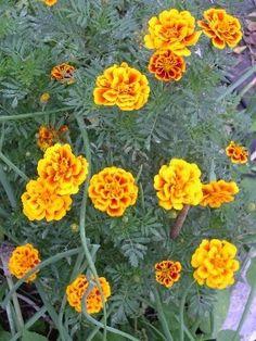 marigolds(caléndulas) repel mosquitoes
