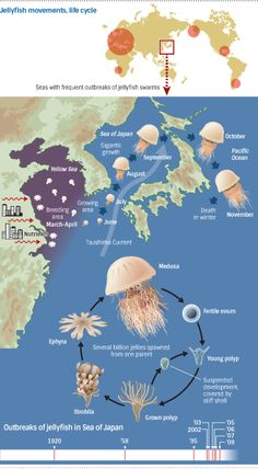 TOKYO -- Seas around the world are turning into jellyfish soup, as swarms of the creatures hit coastal areas, paralyzing power plants and undermining Giant Jellyfish, Jellyfish Facts, Jellyfish Drawing, Jellyfish Aquarium, Jellyfish Light, Jellyfish Painting, N Animals, Sea Of Japan, Ocean Unit