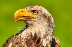 Juvenile Bald Eagle - Quebec, Canada. By Joshua McCullough