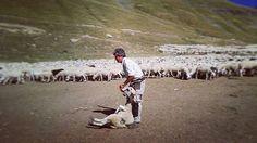 """El #pastor Josep Maria, """"Rispa"""" d'Enviny, a punt de curar una peulla d'una #ovella #xisqueta Ho podràs veure tu mateix@ fins al 15 de setembre a les #vivenciesxisqueta al #pallarssobira #pirineus #shepherd #berger"""