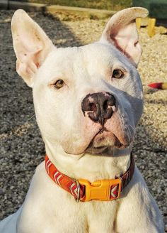 1/6/16*** 5/27/2014***Kevin is a 2 year old neutered male. He is up to date on his shots, dewormed, microchipped, heartworm negative, and on prevention. Kevin walks best on leash when he wears his no-pull harness. Kevin is good in passing other dogs being walked, but...