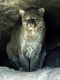 Jaguarundi endangered species