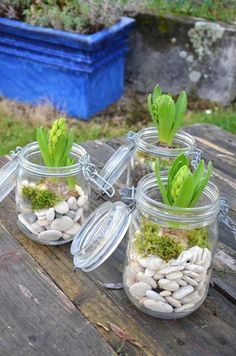--In cold weather, the flowers are more rare then make a winter garden in an old glass jar !-- {DiY} mason Jar Deco hyacinth for the winter Indoor Garden, Indoor Plants, Balcony Garden, Dog Garden, Balcony Ideas, Deco Nature, Terrarium Diy, Deco Floral, Cactus Y Suculentas