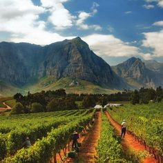 Top South African white blends according to MW Tim Atkin