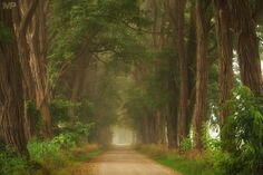 """Mystic Acacias - Mystic Acacias, Laren, the Netherlands.  And one more photo of this beautiful road taken during a misty summer morning. I just love these trees. I hope you like them too and I wish you all a great day!  <a href=""""http://facebook.com/martinpodtphotography"""">Facebook</a>   <a href=""""https://www.instagram.com/martinpodt/"""">Instagram</a>   <a href=""""http://fineartamerica.com/profiles/martin-podt.html"""">Fine Art America</a>"""