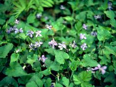 Ground cover for Massachusetts Missouri, Meadow Garden, Rain Garden, When To Plant Vegetables, Seed Bank, Texas, Gifts For Photographers, Ornamental Plants, Shade Garden