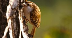 Treecreepers leave their breeding territories in autumn but most range no further than 20 km #RealTweetWeek