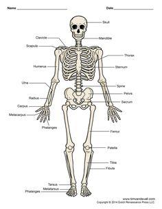 human bones diagram labeled labeled skeleton diagram labeled skeletal system diagram ideas - Made By Creative Label Human Skeleton For Kids, Human Skeleton Labeled, Human Skeleton Bones, Human Skeleton Anatomy, Skeleton Model, Skeleton Parts, Skeletal System Worksheet, Skeleton System, Body Diagram