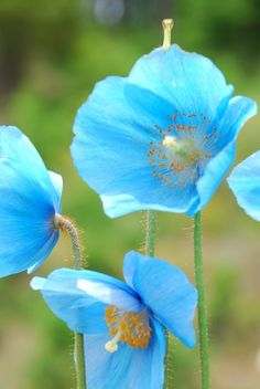 Meconopsis / Blue poppy SUBFAMILY PAPAVEROIDEAE the true poppy. Meconopsis has 43 species some of other colors all but one are native to Himalayas and west china. Why can't we have these Poppies here in the states. Amazing Flowers, My Flower, Beautiful Flowers, Poppy Flowers, Exotic Flowers, Blue Poppy, My Secret Garden, Dream Garden, Planting Flowers