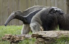 National Zoo's Baby Giant Anteater: It's a boy!
