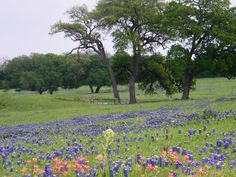 Central Texas and Bluebonnets
