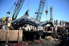 Fisherman in Pakistan reeled in a 40-foot whale shark. (via msnbc.com)
