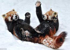 Photos panda roux neige page 3
