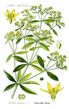 Illustration Rubia tinctorum1.jpg