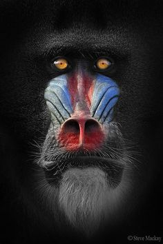 """Out of the Darkness"" by Steve Mackay via 500px.  This is a male Mandrill Baboon."